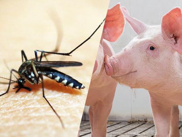 मच्छरों में सीक्यूवी(CQV)