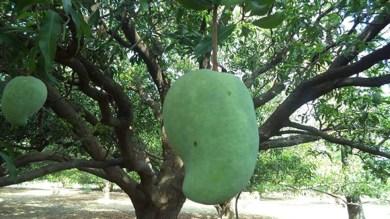 सालभर बाद लौटी अफगान मूल की 'Noorjahan', 1 Mango खरीदने से पहले 1000 बार सोचना पड़ेगा