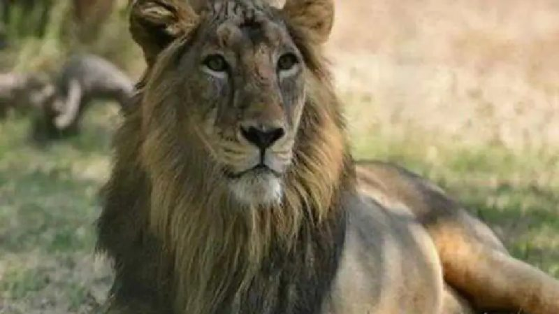 Delta Variant Found in 4 Lions in Zoological Park of Tamil Nadu, Confirmed in Genome Sequencing