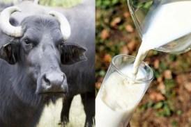 Buffalo milk health benefits: भैंस का दूध पीने से दूर भाग जाती हैं कई बीमारियां, मिलते हैं यह जरबदस्त लाभ