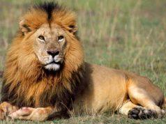शेर से जुड़े 15 रोचक तथ्य और जानकारियाँ