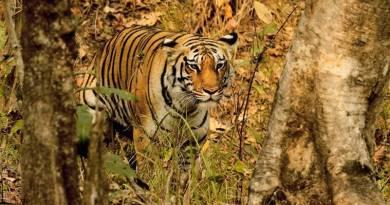 igress, Panthera Tigris, Pench National Park, Maharashtra, India