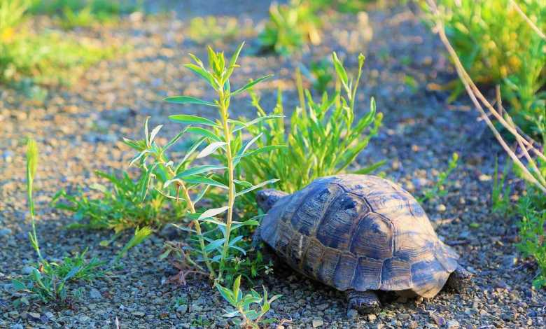 Benefits of raising a tortoise