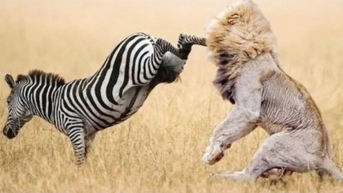 जानवरों की लड़ाई