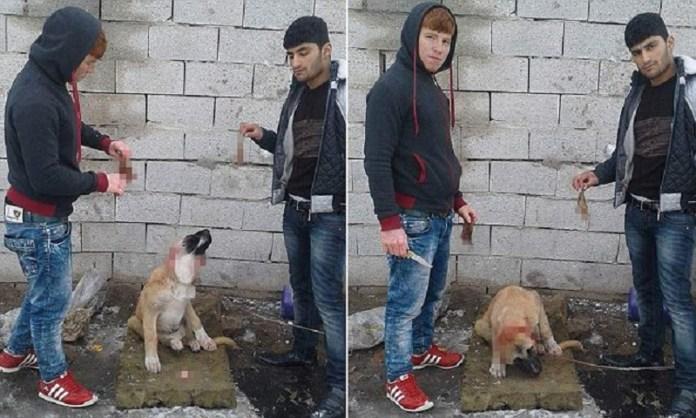 कुत्ते का कान, तुर्की