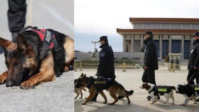 चीन कायर कुत्ते