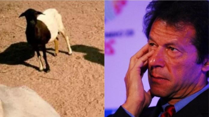 बकरी का गैंगरेप, इमरान खान