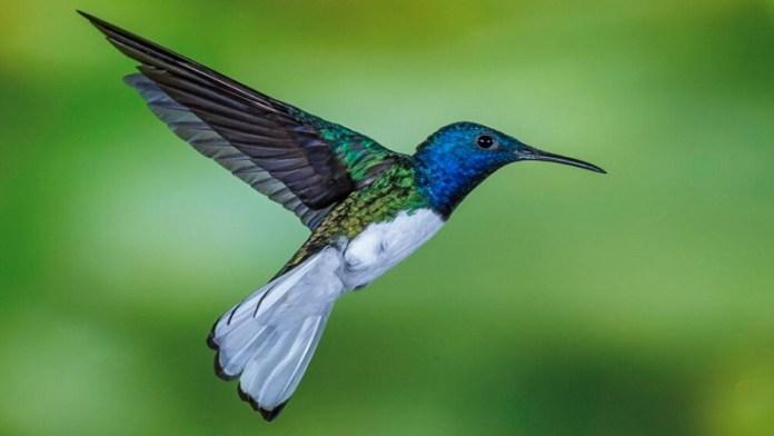गुंजन पक्षी, हमिंग बर्ड