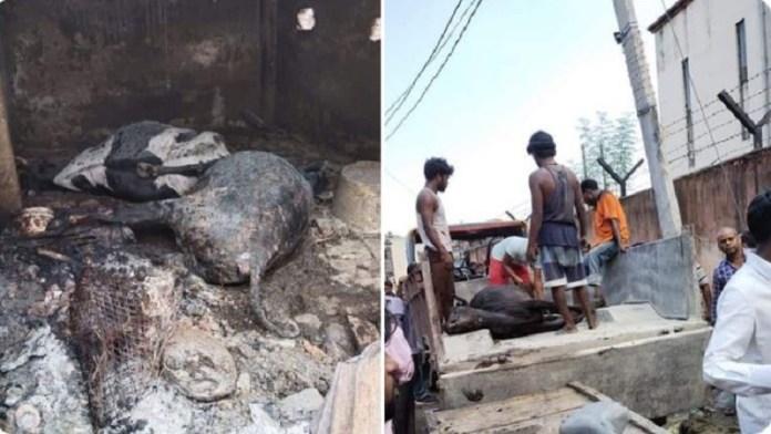 पटना, गाय, मौत