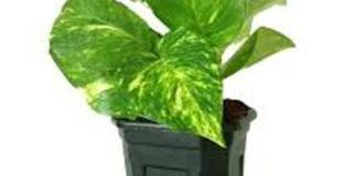 money plant for money how to