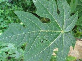 papaya leaves benefits side effects in hindi