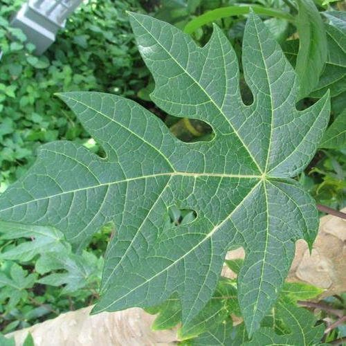 papaya leaves benefits side effects in hindi