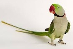Alexandrine Parakeet bird