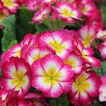 Primrose Flower