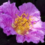 Queen Crape Myrtle-flower