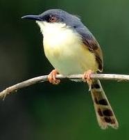 ashy prinia bird