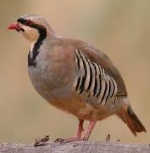 chukar partridge bird