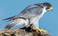 peregrine falcon bird