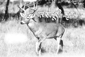Read more about the article कस्तूरी मृग