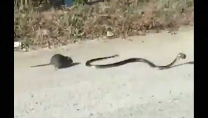 To save the child, a snake pierced the snake, caught the tail from behind and then, watch video