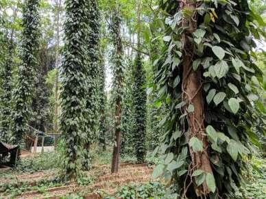 पेड़ों पर होती है काली मिर्च की खेती, कम लागत में होता है लाखों का मुनाफा, जाने तरीका