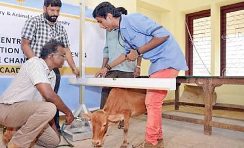 ये है दुनिया की सबसे छोटी गाय जिसके दूध से बनती है औषधी, गिनीज़ बुक में दर्ज हो चुका है नाम