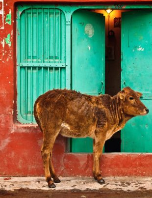 sacredness of cow in Hinduism