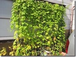 緑のカーテン10月