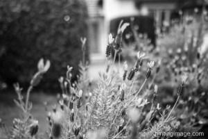 Lavender black and white photo
