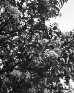 leaves black and white photo