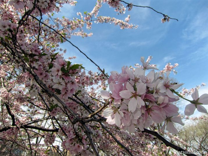 Cherry Blossoms at Central Park 1