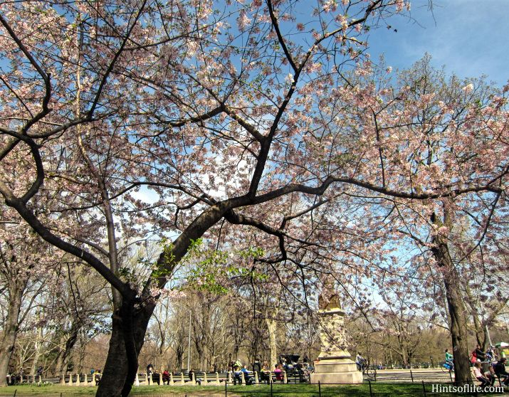 Cherry Blossoms at Central Park