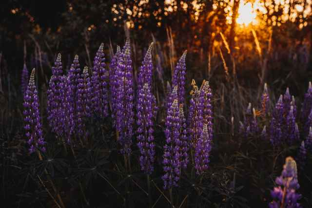 photo of lupine flowers