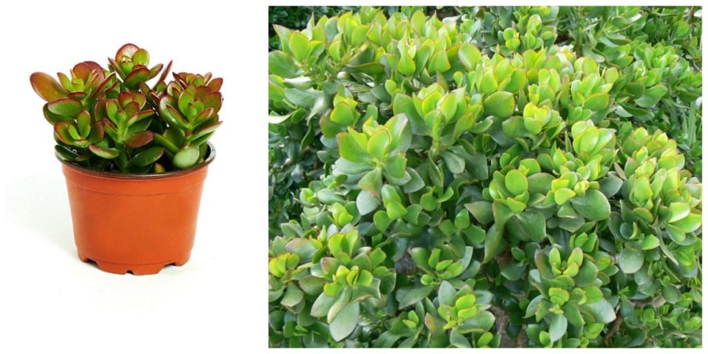 low maintenance houseplants — jade plant and jade bush
