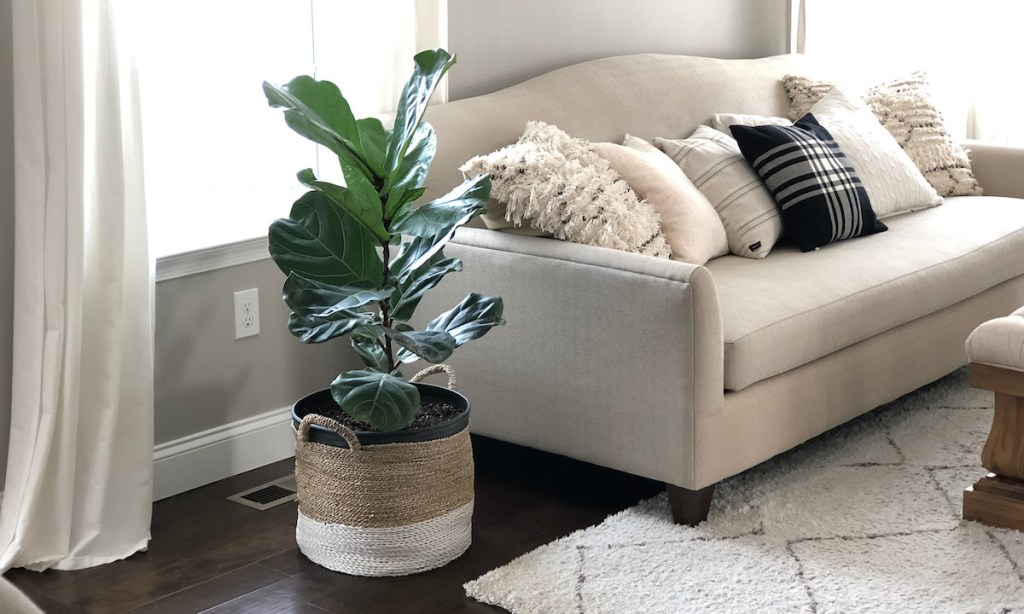 fiddle leaf fig tree in a basket next to a couch with pillows