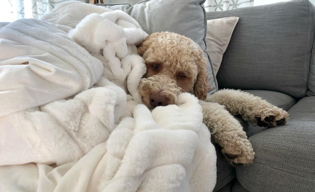 dog laying on white blanket on sofa