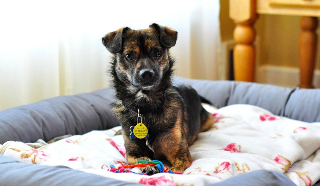 small dog on PetFusion Ultimate Dog Bed