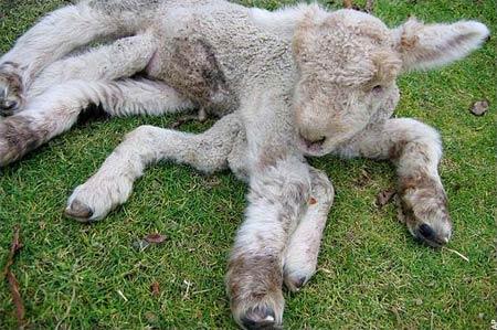 Seven-Leg-Lamb