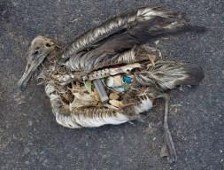 Albatros muerto con su estómago lleno de plásticos