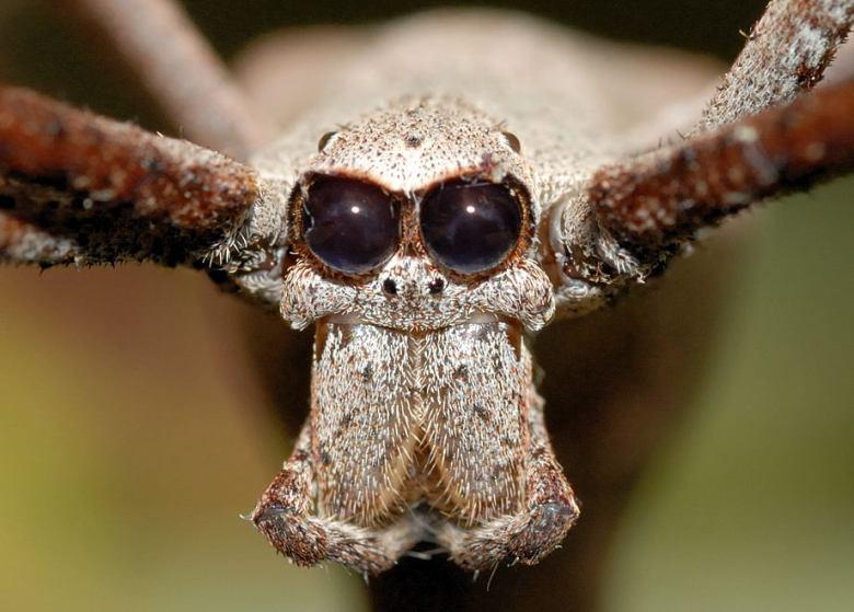 Deinopidae