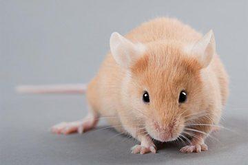 Logran revertir los síntomas del autismo en ratones