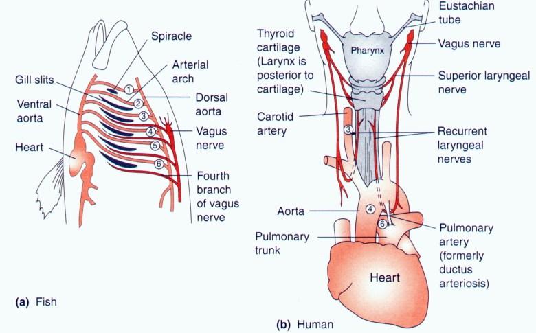 Neuronas - nervio laríngeo recurrente