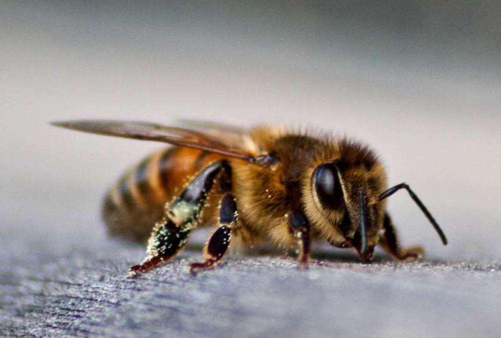 veneno de las abejas