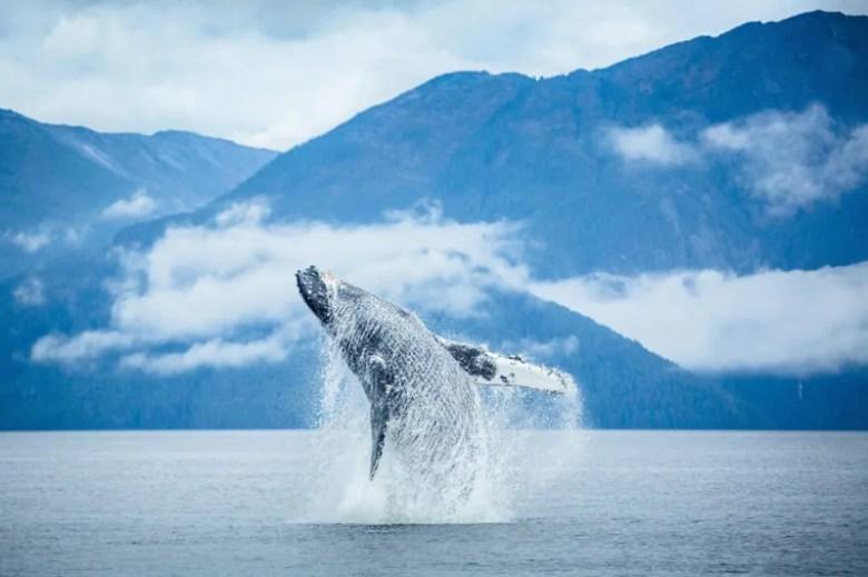 Ballena en Canadá. Foto de Cael Cook. National Geographic Photo Contest