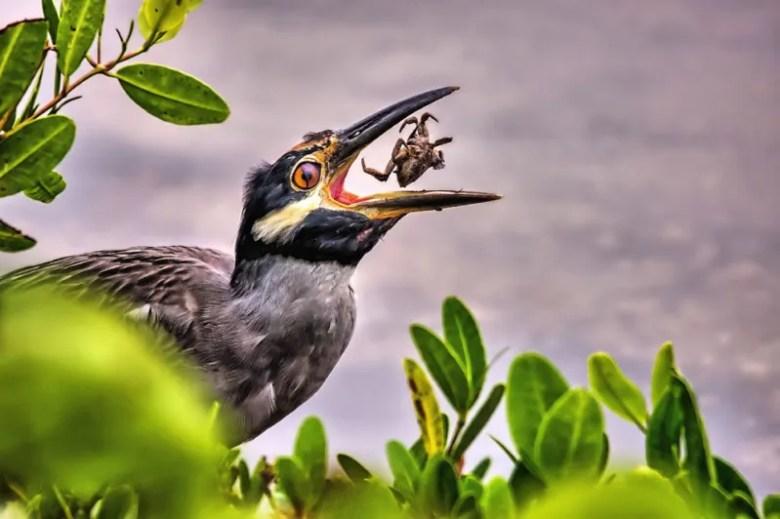 Cangrejo devorado. Foto de Rick Loesche. National Geographic Photo Contest