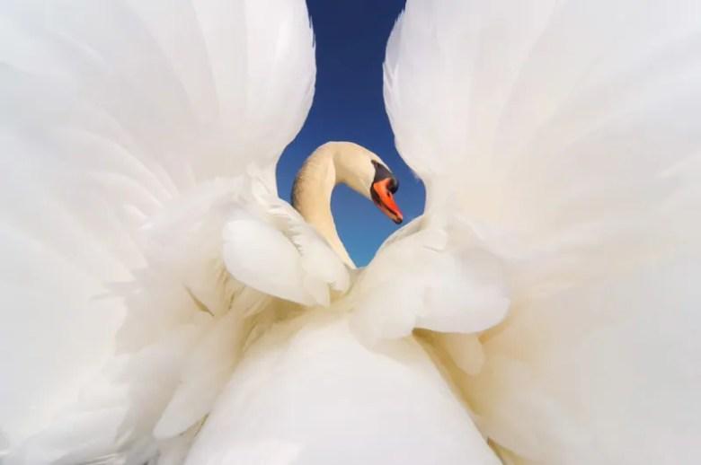 Cisne. Foto de Xuan Zhang. National Geographic Photo Contest