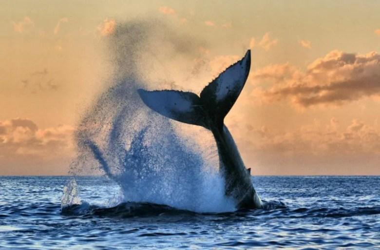 Ballena en Hawaii. Foto de Susan Metz. National Geographic Photo Contest