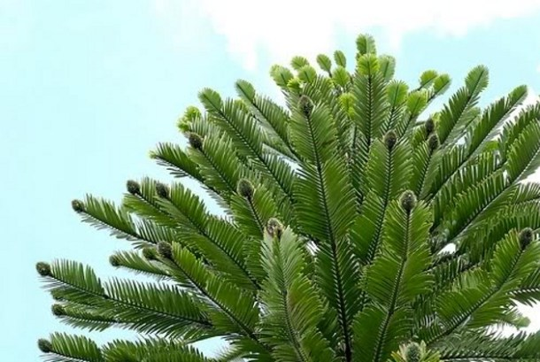 WOLLEMI-PINE-weridest-trees-in-the-world