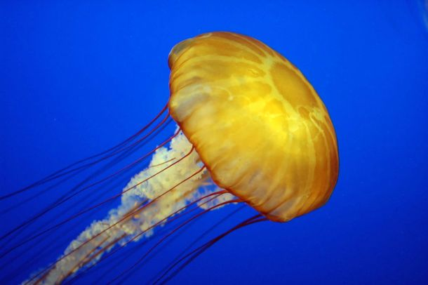 """Jelly cc11"". Licensed under CC BY-SA 2.0 via Wikimedia Commons."