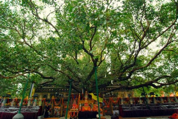 bidhi-tree